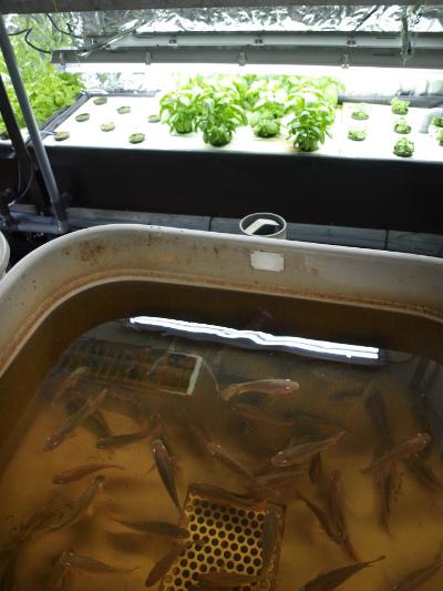 CERER aquaponics